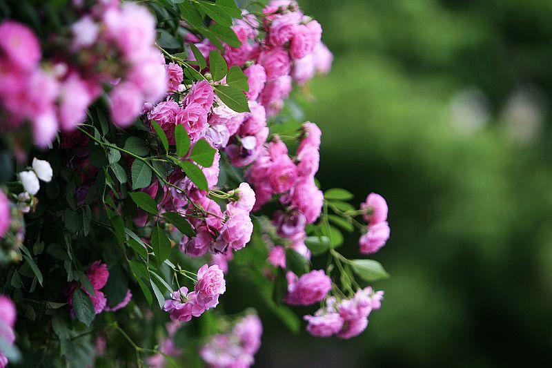 蔷薇立,春犹俏 - chouchouma - chouchouma的博客