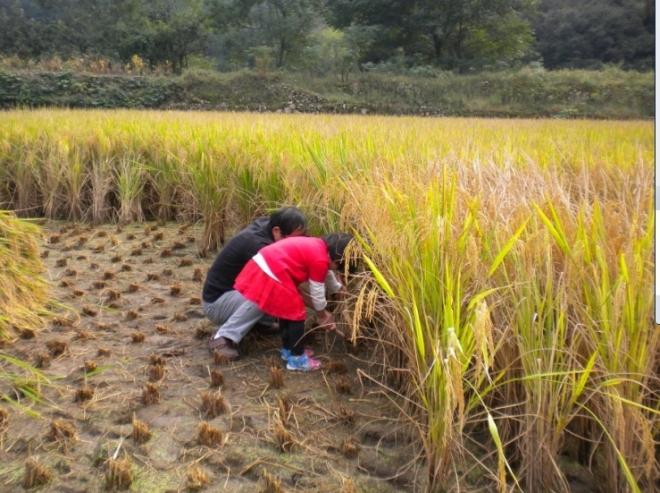 忘我的投入中,努力割稻 子