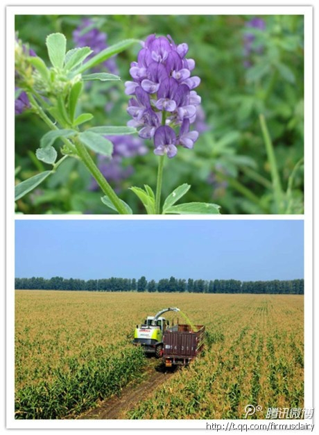 """我们 蛋白质/我们看到了""""蛋白质之王""""的紫花苜宿可是没有看到他们的收割..."""