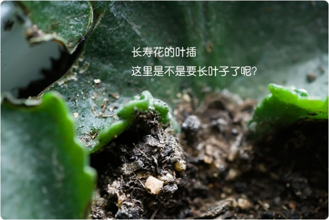 如何给多肉植物叶插繁殖